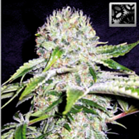 Blimburn Seeds Northern Automatic Feminized