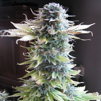 Seedsman Seeds Early Skunk Feminised