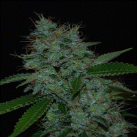 Cream of The Crop Seeds Narcotherapy Auto Feminized