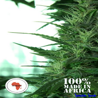 Seeds of Africa Transkei Regular