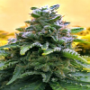 Advanced Seeds Auto Top 69 Feminized PICK N MIX