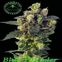 Sagarmatha Seeds Blue Thunder Regular