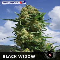 Positronics Seeds Black Widow Feminized (PICK N MIX)