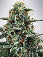 Ministry of Cannabis Seeds White Widow Feminized