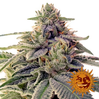 Barney's Farm Seeds Shiskaberry Feminized (PICK N MIX)