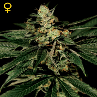 Green House Seeds Train Wreck Feminised