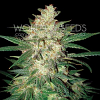 World of Seeds Sweet Coffee Ryder Auto Feminized