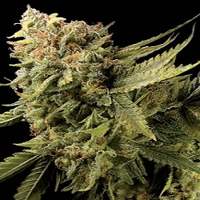 DNA Genetics Seeds Lemon Skunk Feminized