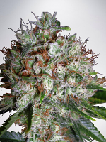 Ministry of Cannabis Seeds Big Bud XXL Feminized