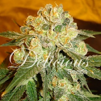 Delicious Seeds Marmalate Feminized