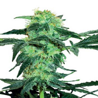 White Label Seed Company White Ice Feminized
