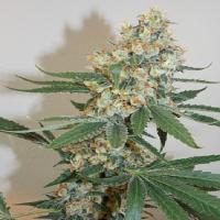 Bodhi Seeds Silver Mountain Regular