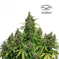 Dutch Passion Seeds AutoMazar Feminized