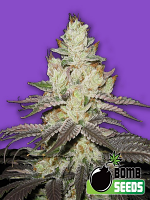 Bomb Seeds Killer Purps Feminized
