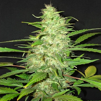 Bulk Seeds Auto Diesel x Auto Blueberry Feminized