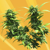 Freedom of Seeds Jack Auto Feminised
