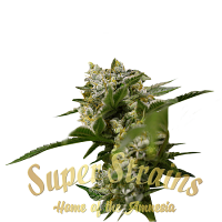 Ibiza Farmer's - Feminized - Super Strains