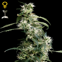 Green House Seeds Arjans Ultra Haze #2 Feminised