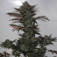 Secret Valley Seeds Northern Flame Regular