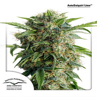 Dutch Passion Seeds AutoDaiquiri Lime Feminized