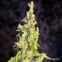 NorStar Genetics Seeds Chelumbian Regular