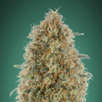 Gorilla Blue - Feminized - Advanced Seeds