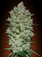 Advanced Seeds Auto Bio Diesel Mass Feminised