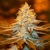 T.H.Seeds Strawberry Glue (Club Pack) Feminized
