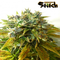 Flash Autoflowering Seeds Stardust Auto Feminized