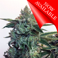 Cream of the Crop Seeds Sticky Zkittlez Glue Feminized (PICK N MIX)
