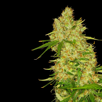 Dready Seeds Blue Bubbleberry Feminized