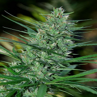 Cannabiogen Seeds Mextiza Regular