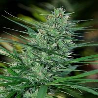 Cannabiogen Seeds Mextiza Regular