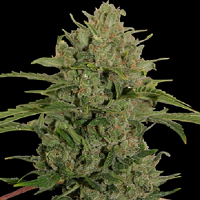 Barney's Farm Seeds Triple Cheese Feminized