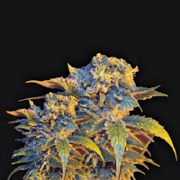 VIP Seeds Colombian Sweet Feminized (PICK N MIX)