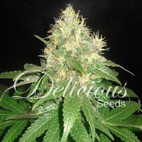 Delicious Seeds Northern Light Blue Feminized