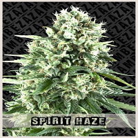 Zambeza Seeds Spirit Haze Auto Feminized