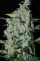 Cannabiogen Seeds Purple Mexican Feminized