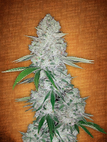 FastBuds Seeds Gorilla Glue Auto Feminized (PICK N MIX)