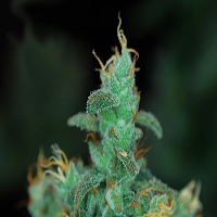 AlphaKronik Genes Seeds Dagfather Regular