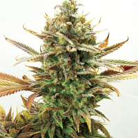 Garden of Green Seeds Super Critical Bud CBD Feminized