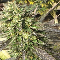 Good Buzz Genetics Bulk Seeds Chemdawg Feminized