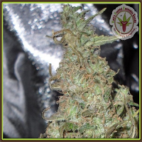 Dr Krippling Seeds Melon Kali Feminized (PICK N MIX)