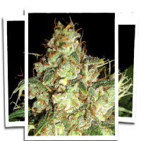 Emerald Triangle Seeds Bubba Cheese Auto Regular