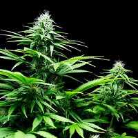 Sumo Seeds Honey Rock Feminized