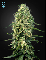 Green House Seeds Super Silver Haze CBD Feminized