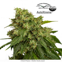 Dutch Passion Seeds Auto Xtreme Feminized