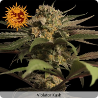 Barney's Farm Seeds Violator Kush Feminized