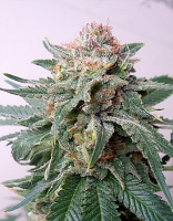 Critical Mass Collective Seeds Auto Purple Skunk Mass Feminized (PICK N MIX)