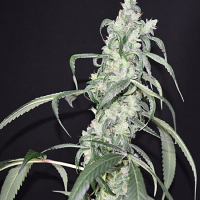 Pot Valley Seeds Crystal Sherbet Feminized